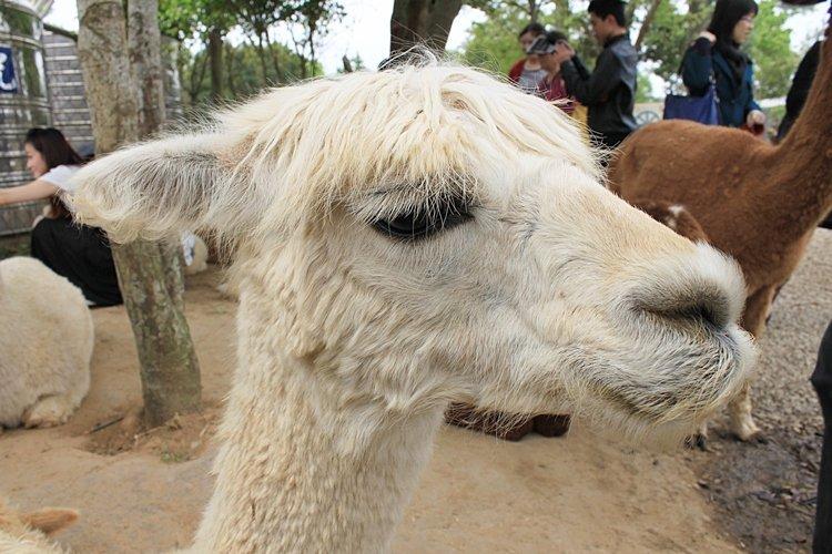 趴趴go |台中天马牧场 | 草泥马(羊驼)…等可爱动物