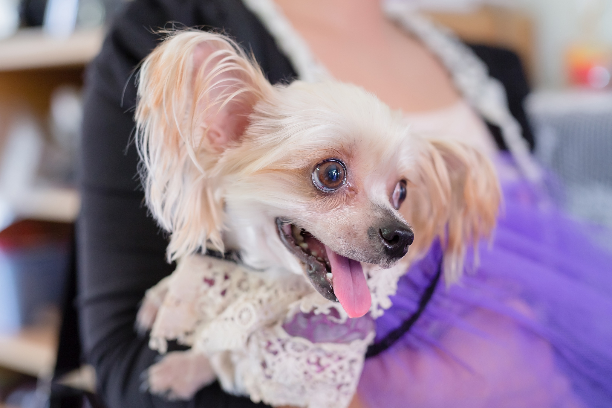 Image result for 犬  chinese crested 抱擁