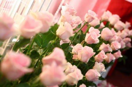 主题布置前的粉红色玫瑰花图片